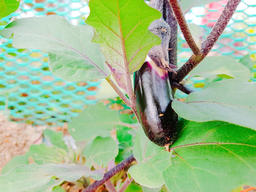 Close up of eggplant at farm フォト