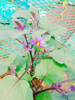 Close up of eggplant flowers at farm Fotografía