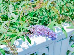 Close up of lavender flower Fotografía