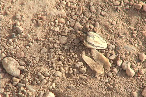 An ant drags a large object across the desert floor Stock Video Footage