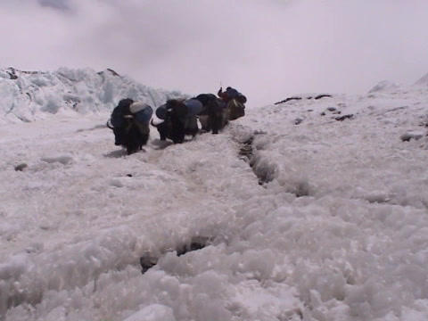 Yaks packed with expedition walking down an icy path on... Stock Video Footage