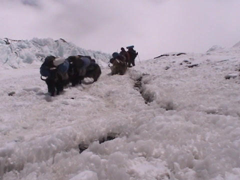 Yaks packed with expedition walking down an icy path on Mt. Everest Footage