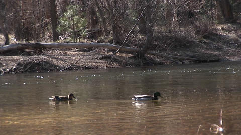 ducks swim along a fast-flowing stream in early winter Stock Video Footage