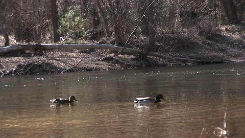 ducks swim along a fast-flowing stream in early winter Stock Video Footage