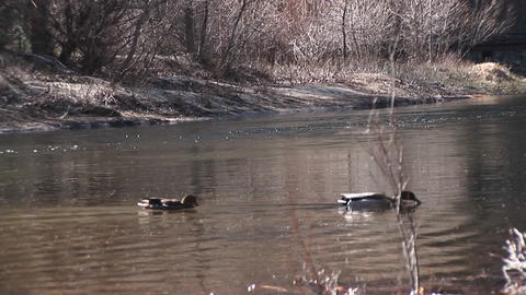 ducks swim along a fast-flowing stream in early winter Footage
