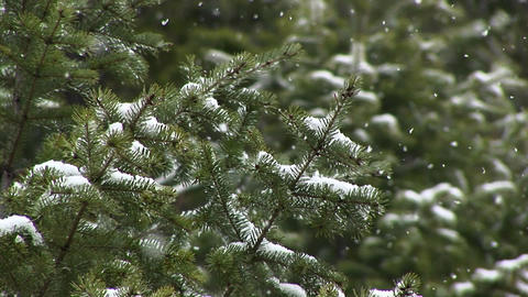 A look at pine needles as they collect snow Stock Video Footage