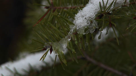 An extreme close-up of pine needles covered with a light snow and snow-crystals Footage