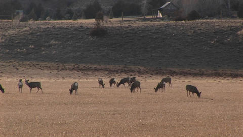 A herd of deer graze in a distant field Footage