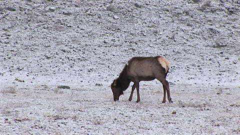 A hungry female elk stays alert while grazing on prairie... Stock Video Footage