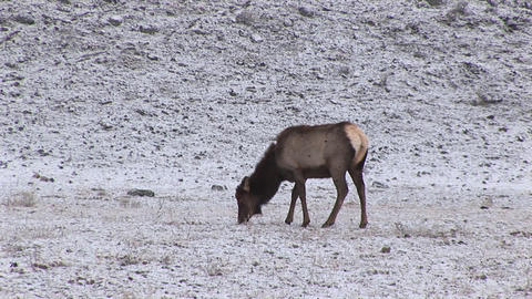 A hungry female elk stays alert while grazing on prairie grasses covered with a light snow Footage