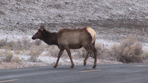 Camera follows two female elk as they cross the road to... Stock Video Footage