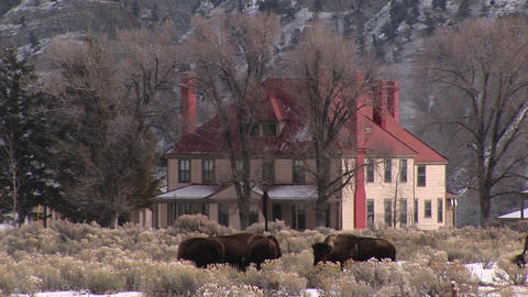 Bison graze near a picturesque homestead on the prairie... Stock Video Footage