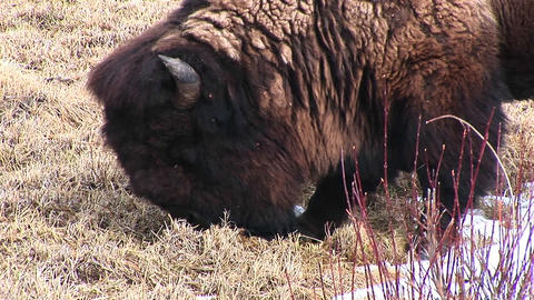 This close-up shows a bison searching for tender new... Stock Video Footage