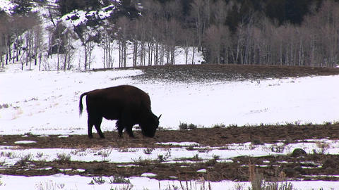 Silhouetted against a snowy background, a bison grazes on a bare patch of prairie grass Footage