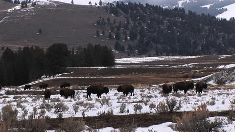 A herd of bison graze on a snow-covered prairie Footage