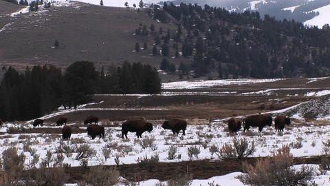 A herd of bison graze on a snow-covered prairie Stock Video Footage