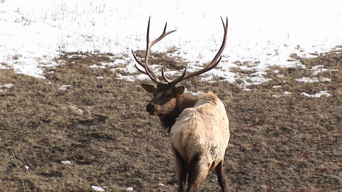 A wary male elk with an enormous rack gives the camera a... Stock Video Footage