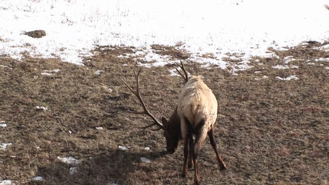 A wary male elk with an enormous rack gives the camera a backwards look and resumes grazing Footage