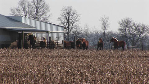 Horses are corralled together outside near a barn Footage