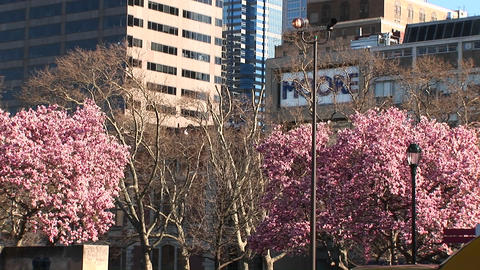 The camera pans up past flowering dogwood trees to the... Stock Video Footage