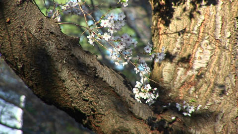 The camera pans up fork of mature tree to focus on... Stock Video Footage