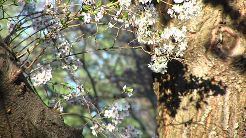 The camera pans up fork of mature tree to focus on flowering branches in springtime Live Action