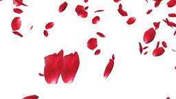 Rose petals Falling, against white Animation