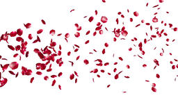 Rose Petals Flying Particles, against white Animation