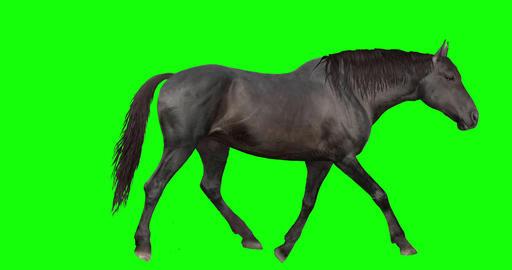 Black Horse Looping Gaits Videos animados