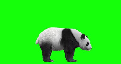 Panda Bear Being Cute CG動画
