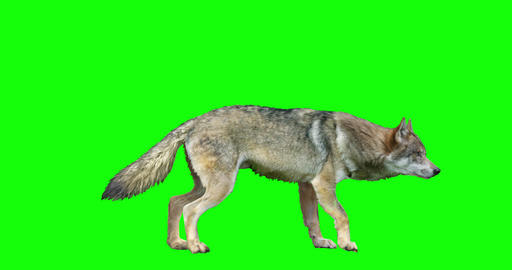 Isolated Wolf Various Actions Videos animados