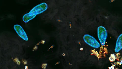 Swimming Paramecium Microbes Animation