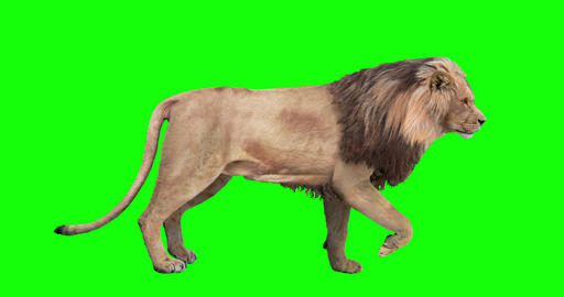 Lion Looping Gait Cycles Animation