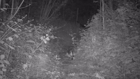 A European Badger activities in the dark Live Action