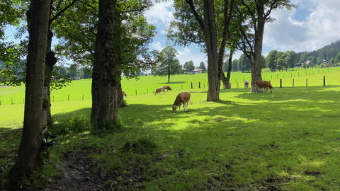 Cows on the pasture in Ramsau am Dachstein, Austria GIF