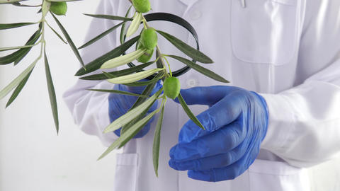 Medical analyst checks a branch of olives for laboratory analysis Live Action