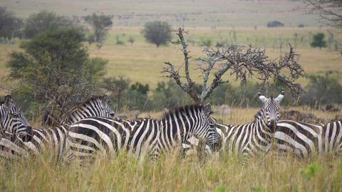 Close Up of Zebra Family on Alert Looking At Camera. Animals in Natural Preserve Live Action