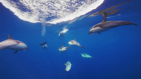 Breathtaking underwater speedy following the Short-beaked Common Dolphins in blue ocean clear waters Live Action
