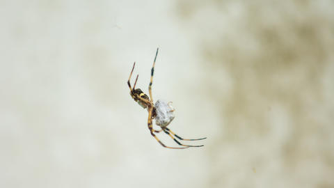 Spider with black and yellow body and legs wrapping around an in Fotografía