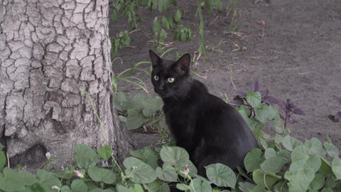Black cat with yellow eyes looks at the camera in nature. The cat looks up in Live Action