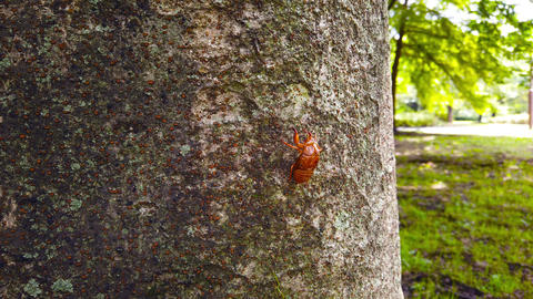 Cicada shells Live Action