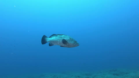 Alone grouper fish swimming in clean blue water - Scuba diving in Majorca Spain Live Action
