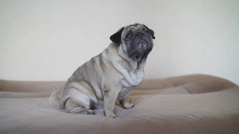 Adorable pug dog standing on floor at home, 3 year old ,looking at the camera Live Action