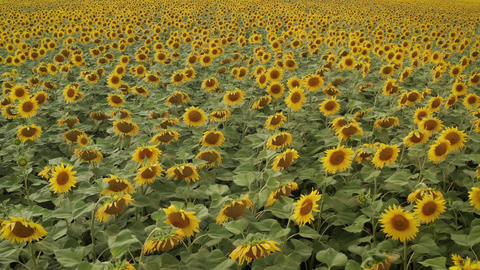 field of sunflowers. A large field is dotted with sunflowers. A field with Live Action