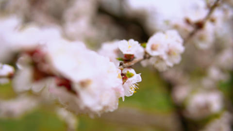 blossoming fruit tree Live Action