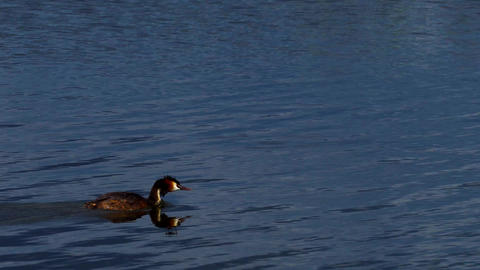 Beautiful merganser bird swims on the lake GIF