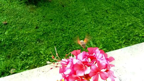 Hummingbird Hawk-Moth Flying Near Pink Flowers GIF