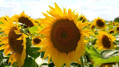 Close-Up Shot of Sunflower Acción en vivo