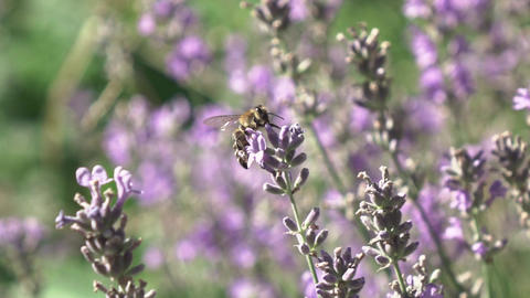 Closeup twigs of blooming lavender flowers with working honey bee Live Action