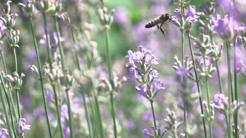 Close-up slow motion video of flying bee above blooming lavender flowers Live Action
